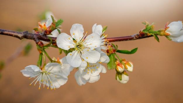 桜。薄茶色の庭に白い花と桜の枝