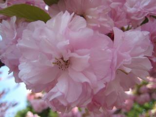 Cherry blossoms closeup3