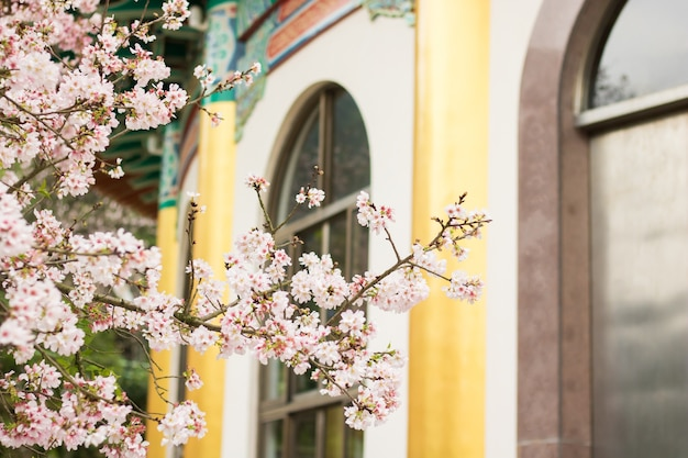 Cherry blossoms in full bloom at tianyuan temple, taipei, taiwan