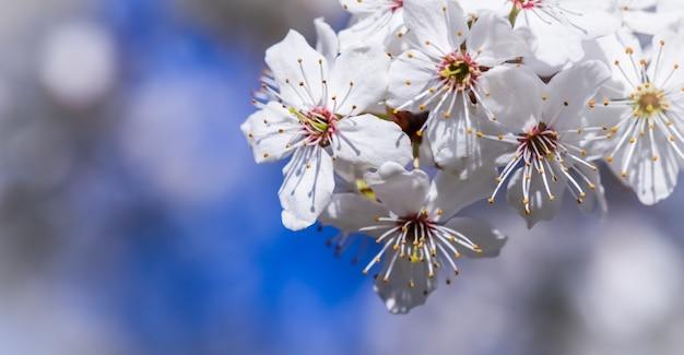 青い空を背景に春の美しい白い花の桜