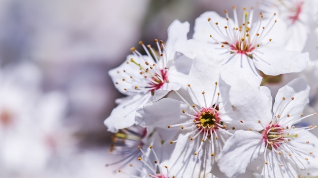 春の美しい白い花の桜