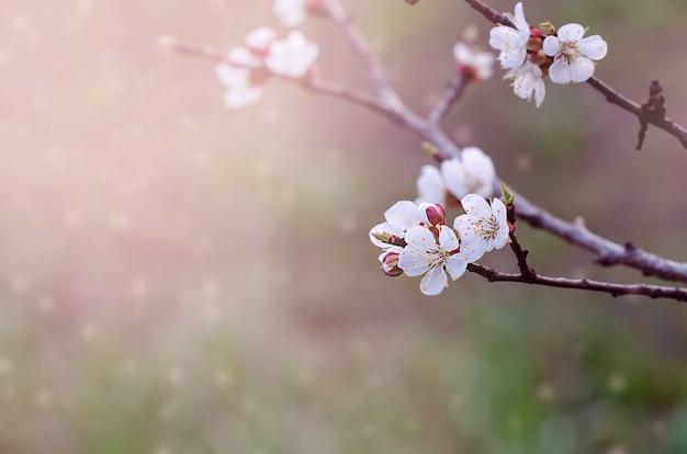 Вишни в цвету на ветке весной