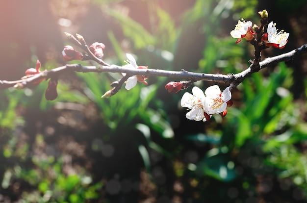 봄 햇살에 나뭇 가지에 벚꽃