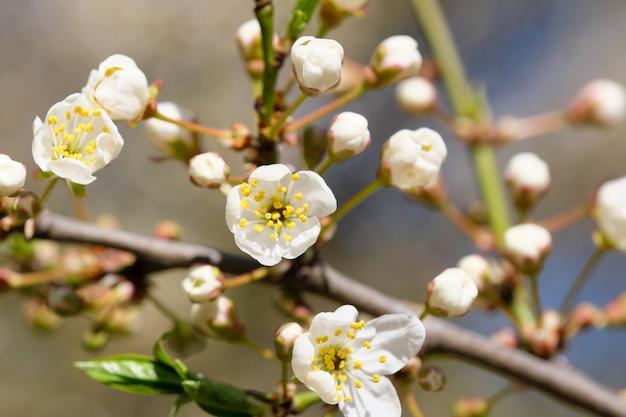 밝은 봄날의 벚꽃