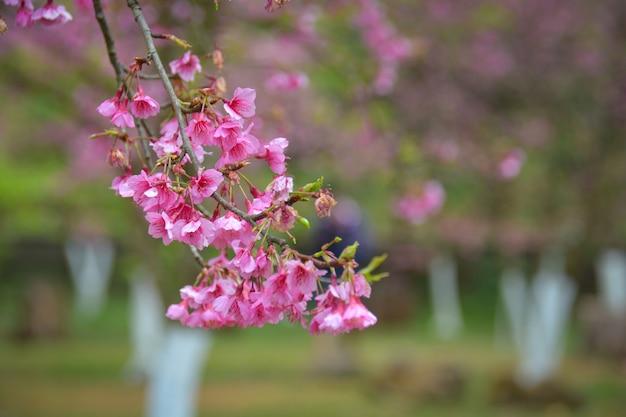 Вишневые цветы, розовые на возвышенности, цветут в анг кханге в чиангмае, на севере таиланда.