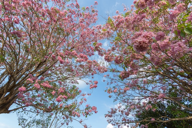 Cherry blossoms pink trumpet blooming tree