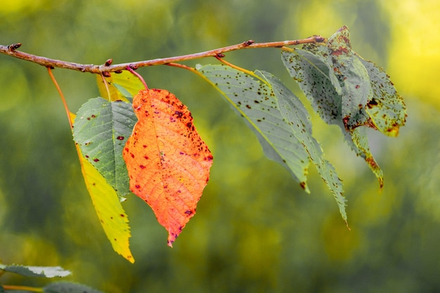 Cherry branch with colorful autumn leaves on blurred background