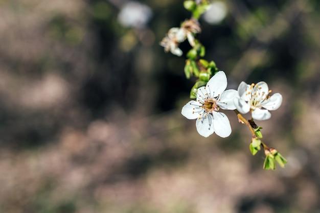 Вишневая ветвь с белым цветком и цветущими листьями на размытом фоне. цветущее ягодное дерево в солнечный весенний день. выборочный фокус. крупным планом вид