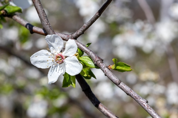 흰 꽃과 배경을 흐리게 피 잎 벚꽃 지점. 화창한 봄 날에 꽃 베리 나무입니다. 선택적 초점. 근접 촬영보기