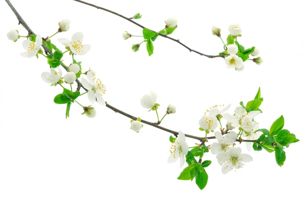 Cherry flower branches on white background