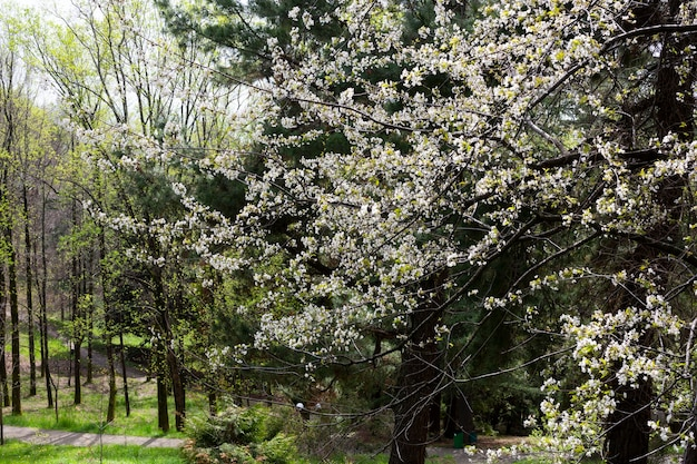 Вишневые цветы фон белые маленькие цветы на ветке в саду