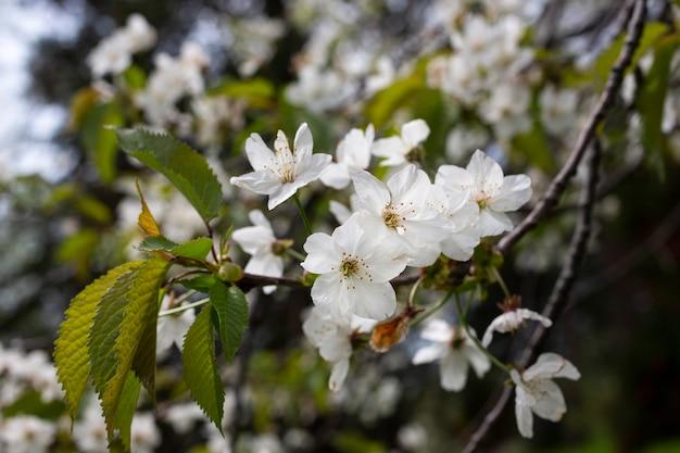 Вишневые цветы фон белые маленькие цветы на ветке
