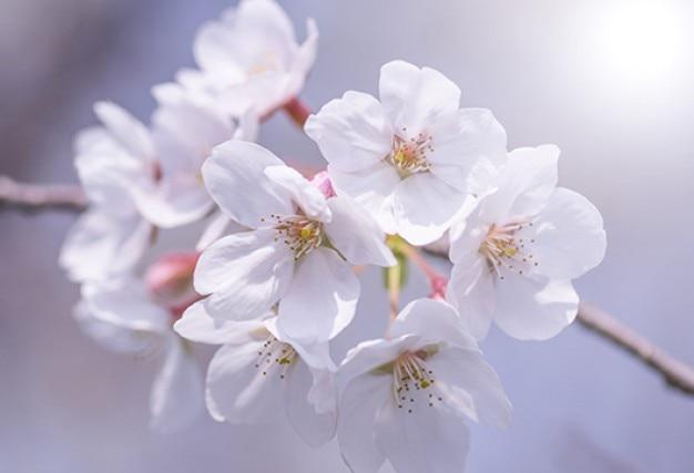 Cherry flowers branch closeup