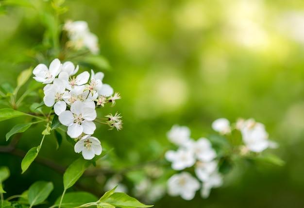 Вишневые цветы в солнечный день на зеленом размытом фоне