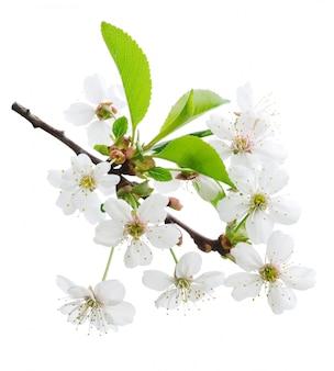 白い背景で隔離の枝に桜の花
