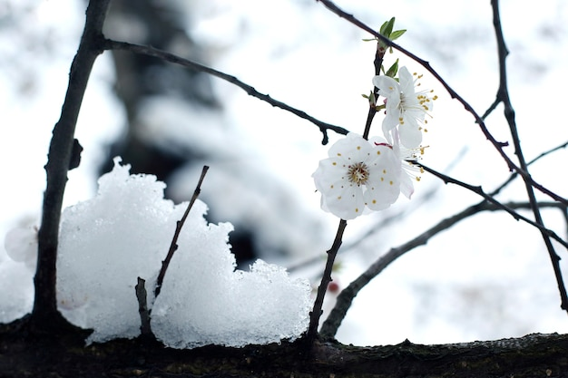 눈이 떨어진 지점에 체리 꽃