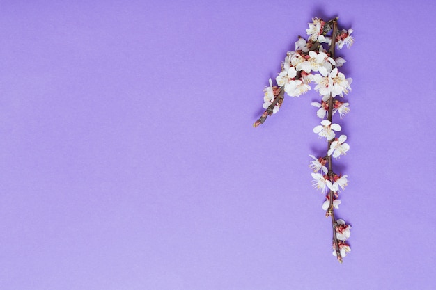 Cherry flowers on violet paper background