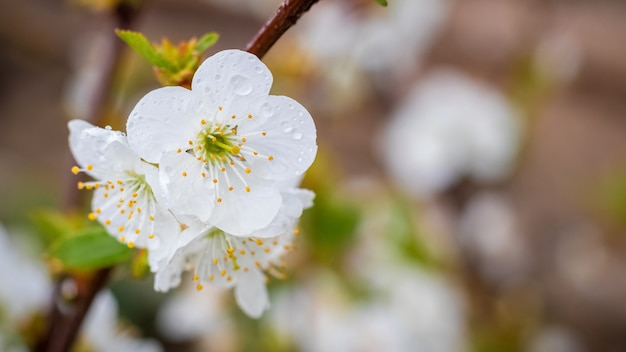 Cherry flowers with raindrops close up on blurred