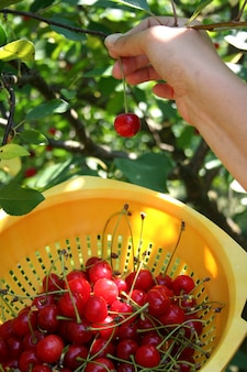 Cherry from tree to the basket