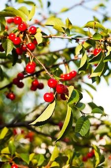 Плоды вишни на ветке крупным планом в саду