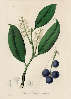Cherry laurel (prunus laurocerasus) illustration from medical botany (1836)