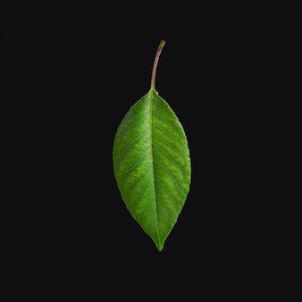 Cherry leaves, cherry leaf on a branch on black