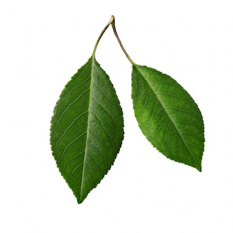 Cherry leaves, cherry leaf on a branch on white