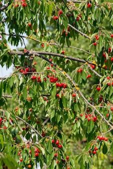枝の桜が育ち、熟した赤い桜。