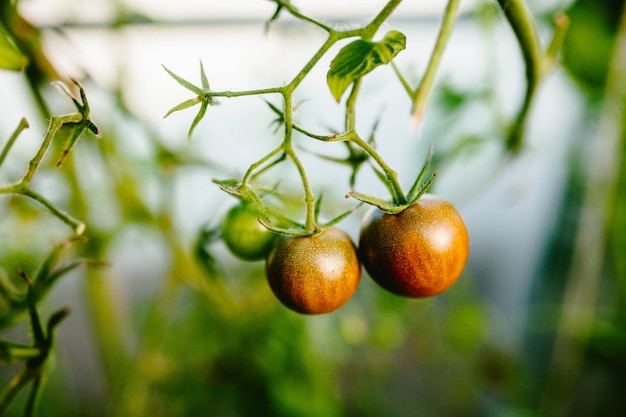 Cherry tomatoes in a branch