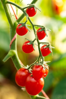 Cherry tomatoes in a garden. ripe organic tomatoes in garden ready to harvest.