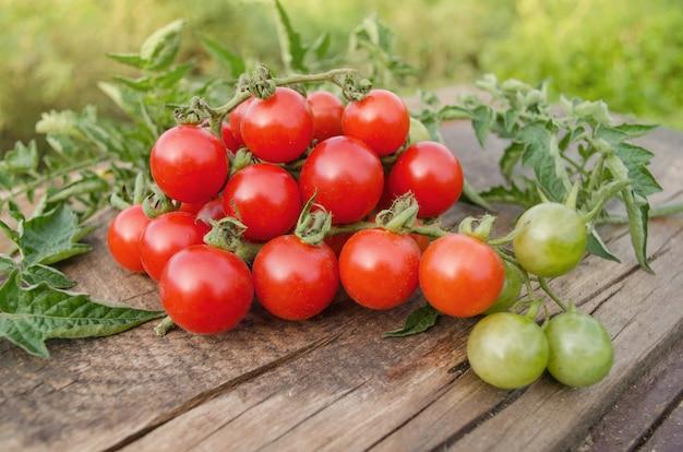 つるのチェリートマト。枝に熟したフレッシュチェリートマト。トマトチェリーブランチ