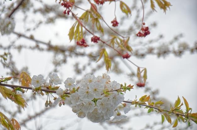 전경의 벚꽃