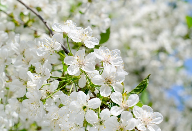 Cherry tree blossoms. white spring flowers close-up. soft focus spring seasonal background.