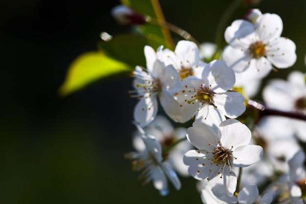 Ветка вишневого дерева против размытия фона Бесплатные Фотографии