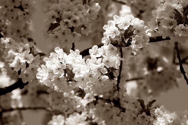 Cherry tree branch in bloom. sepia