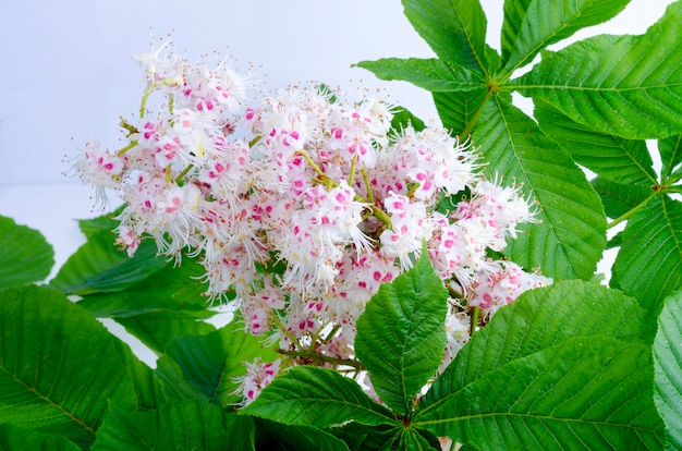 Chestnut branch with leaves and flower on bright