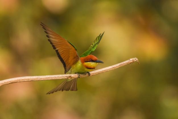 Gruccione testa di castagna (merops leschenaulti) si prepara a volare Foto Gratuite
