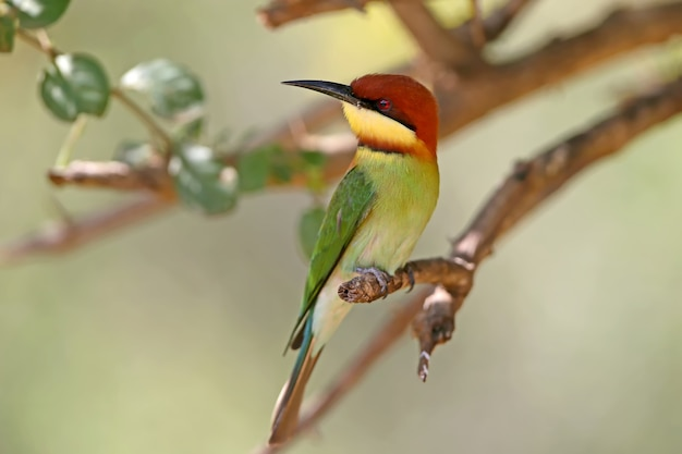 The chestnut-headed bee-eater (merops leschenaulti) sits on the branch