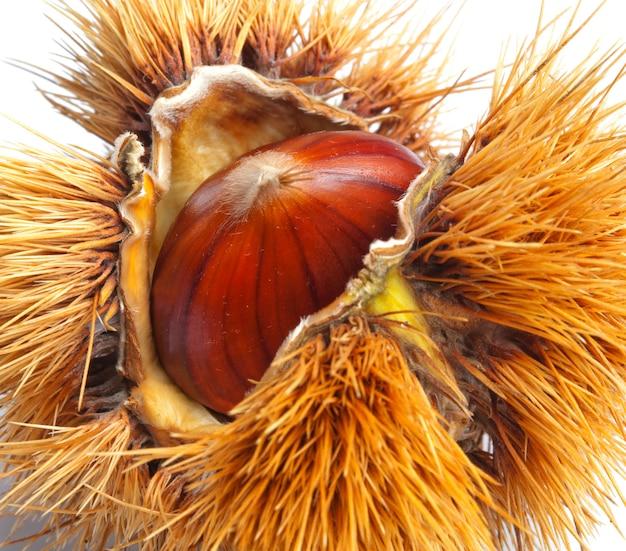 Chestnut hedgehog