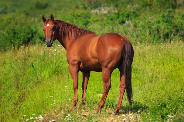 Chestnut horse in alpine pasture
