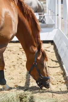 囲いの干し草を食べる栗の馬