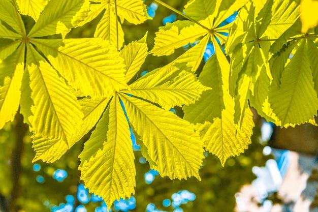Листья каштана, освещенные солнцем, крупным планом
