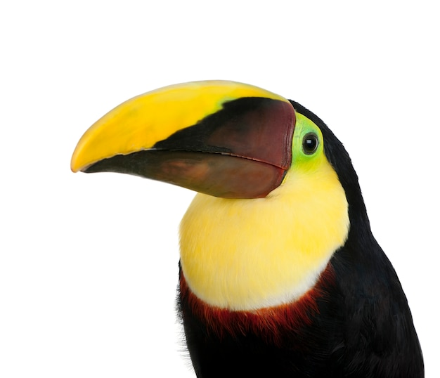 Chestnut-mandibled toucan or swainsonã¢â€â™s toucan - ramphastos swainsonii on a white isolated