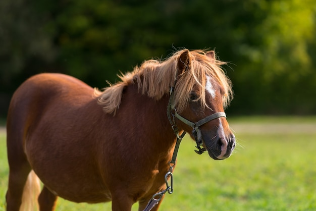 Chestnut pony or horse wearing a halter standing in the sunshine in a grass green field with trees in a close up view