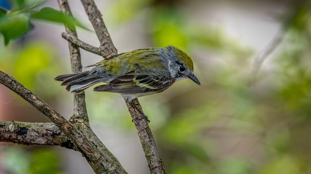Warbler castagno (setophaga pensylvanica)