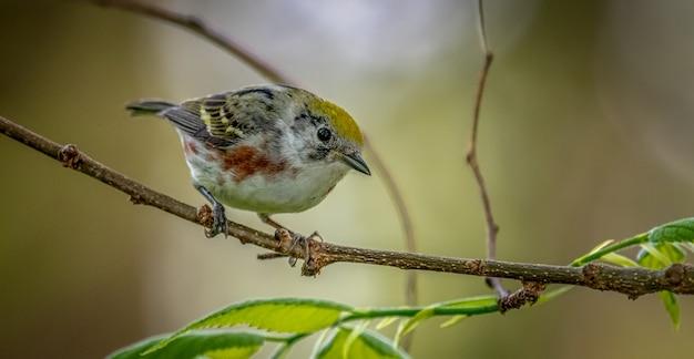 Каштановая певчая птица, setophaga pensylvanica