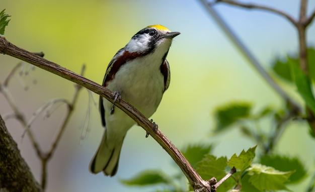 Каштановая певчая птица (setophaga pensylvanica)