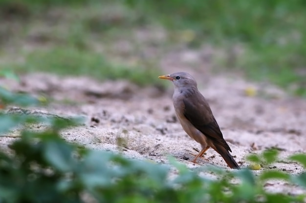 Chestnut-tailed starling on ground