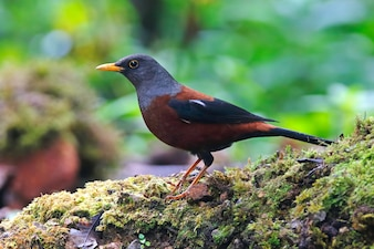 Chestnut Thrush Turdus rubrocanus Beautiful Birds of Thailand