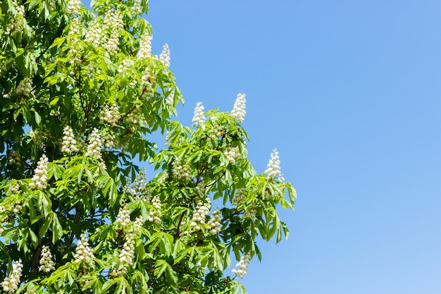 Chestnut tree with blossoming spring flowers against blue sky